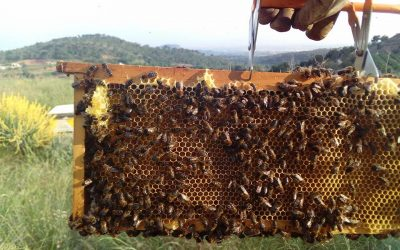 ¿ Sabes reconocer la verdadera miel de abeja de la que no lo es ?